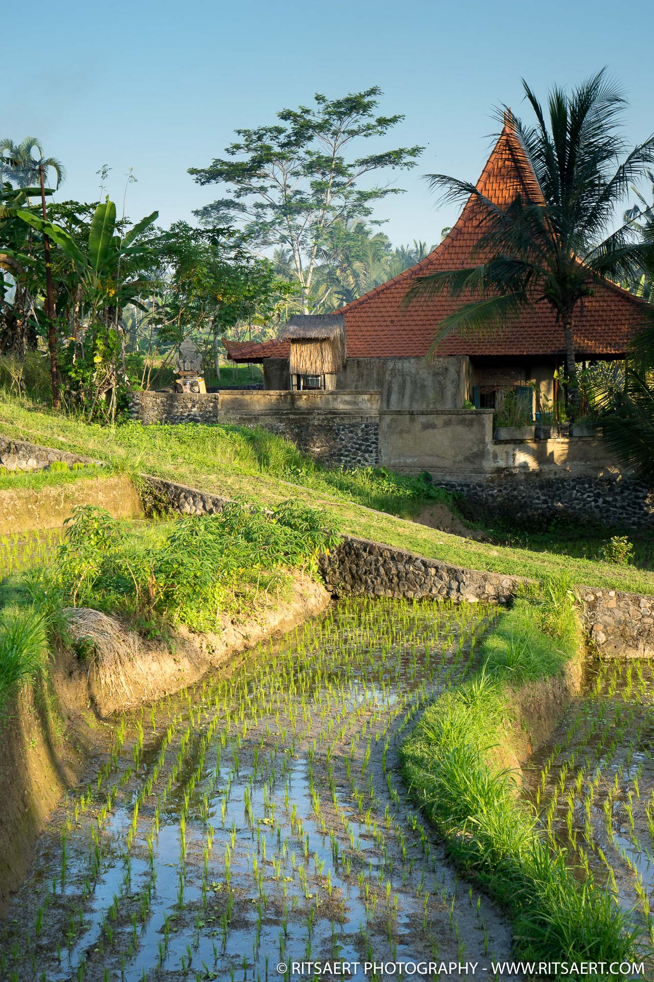Growing the rice - Bali - Indonesia